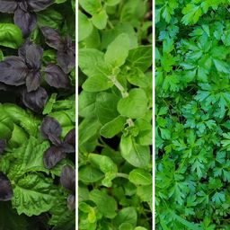 Cottage Farms Direct Herb Garden Kitchen Collection 2.5 in. Pots Parsley-Oregano-Basil Plants (3-Pie | The Home Depot