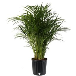 Costa Farms Live Indoor 3ft Tall Green Areca Palm Tree, Indirect Sunlight, Plant in 10in. Grower ... | Walmart (US)