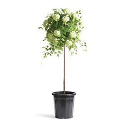 """Outdoor Snowball Hydrangea 50"""" Potted Plant   Frontgate"""