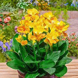 Canna Plants for Sale | Happy Emily | Breck's | Brecks
