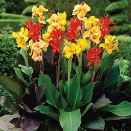 VAN ZYVERDEN Cannas Giant Tall Mixed Bulbs (Set of 6)-11198 - The Home Depot | The Home Depot