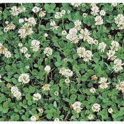 Gardens Alive! 1 lb. White Dutch Clover, Provides Erosion Control-09552 - The Home Depot | The Home Depot