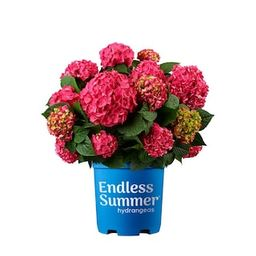 Endless Summer 2 Gal. Summer Crush Hydrangea Plant with Raspberry Red or Neon Purple Blooms-14750... | The Home Depot