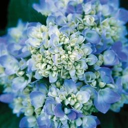 Endless Summer 1 Gal. The Original Hydrangea(Macrophylla) Live Deciduous Shrub, Pink or Blue Moph... | The Home Depot