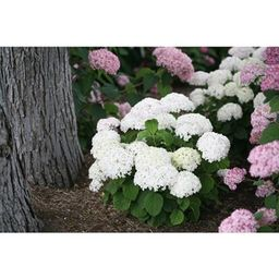 PROVEN WINNERS Invincibelle Wee White Smooth Hydrangea Live Shrub White Flowers 4.5 in. Qt.-HYDPR... | The Home Depot
