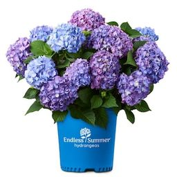 Endless Summer 1 Gal. Bloomstruck Hydrangea Plant with Pink and Purple Flowers-12676 - The Home D... | The Home Depot