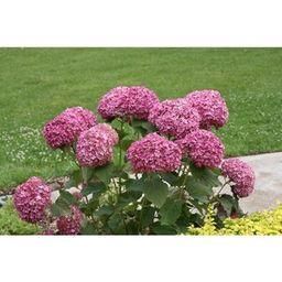 PROVEN WINNERS 4.5 in. Qt. Invincibelle Mini Mauvette Smooth Hydrangea (Hydrangea arborescens) Li... | The Home Depot