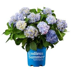 Endless Summer 1 Gal. Original Hydrangea Plant with Pink and Blue Flowers-10530 - The Home Depot | The Home Depot