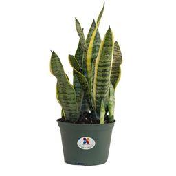 United Nursery Sansevieria Trifasciata Laurentii Snake Plant Live Indoor Outdoor House Plant Ship... | Walmart (US)