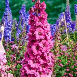 Spring Hill Nurseries Pink Punch Delphinium Live Bareroot Perennial Plant Flowers Pink (1-Pack)-8... | The Home Depot