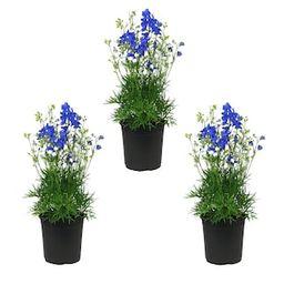 Metrolina Greenhouses 2.5 Qt. Blue Delphinium Larkspur Perennial Plant (3-Pack)-4146 - The Home D... | The Home Depot