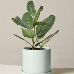 Ficus Audrey | The Sill