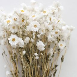 """White Preserved Rodanthe Flowers - 22-28"""" Tall 
