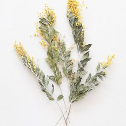 """Yellow Dried Mimosa Acacia Flowers - 12-20"""" Tall 