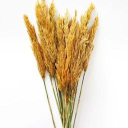 """Dried Plume Reed Grass in Aspen Gold - 36-40"""" 