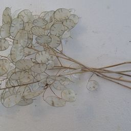 Five dried Lunaria Stems with Silver Dollar Seed | Etsy | Etsy (US)