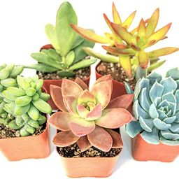 Succulent Plants (5 Pack) Assorted Potted Succulents Plants Live House Plants in Cacti and Succul... | Amazon (US)