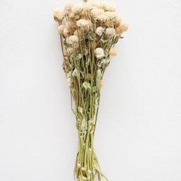 "Air Dried Flowers Globe Amaranth in Cream Beige - 14-18"" Tall   Afloral (US)"