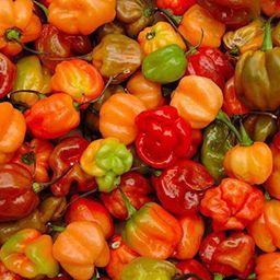 Live Plant- Red Jamaican Scotch Bonnet Pepper (1 Plant) Real Scotch Bonnet not Red habanero | Amazon (US)