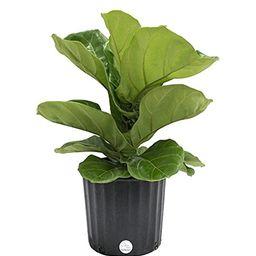 Costa Farms Premium Live Indoor Ficus Lyrata, Fiddle-Leaf Fig Floor Plant in 8.75-Inch Grower Pot, S   Amazon (US)