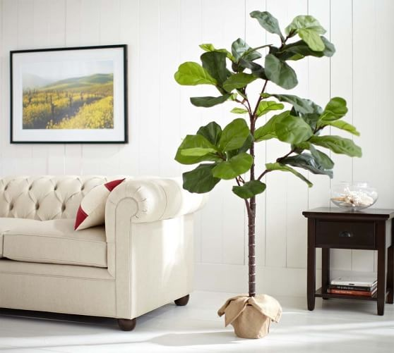 1 of 4 - Fiddle Leaf Fig Tree